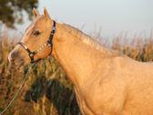 Cavalo palomino agradável no pôr do sol — Fotografia Stock