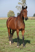 Nice brown warmblood standing in autumn — Stock Photo