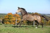Hermoso caballo corriendo en pastos en el otoño — Foto de Stock