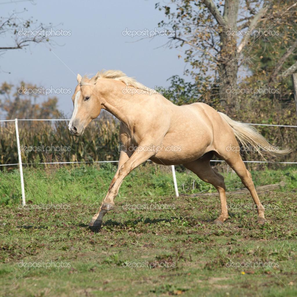 Palomino Horse Running Angry palomino horse running