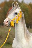 Beautiful white arabian stallion with nice show halter — Stok fotoğraf