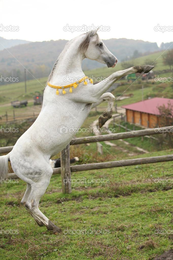 şahlanmış arap atı ile ilgili görsel sonucu
