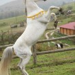 Gorgeous arabian stallion prancing — Foto de Stock