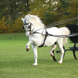 Nice welsh mountain pony stallion running — 图库照片