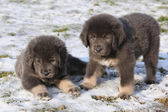 Amazing puppies of Tibetan mastiff — Stock Photo
