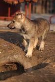 Nice Czechoslovakian wolfdog puppy — Stock Photo