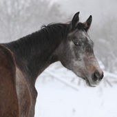 Nice grey moravian warmblood in winter — Stock Photo