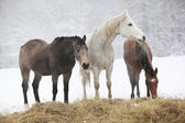 Batch of horses in winter — Stockfoto
