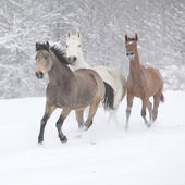 Batch of horses running in winter — Stock Photo
