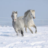 Two gorgeous ponnies running together in winter — Stock Photo