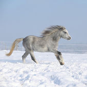 Gorgeous welsh mountain pony running in winter — Stock Photo