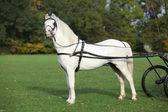 White welsh mountain pony standing — Stock Photo