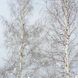 Stock Photo: Two birch trees in winter