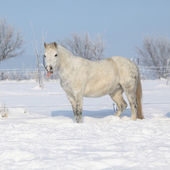Amazing grey pony in winter — Stock Photo