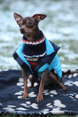 Nice prague ratter with dog clothes in winter — Stock Photo