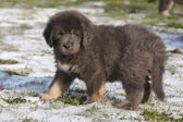 Amazing puppy of Tibetan mastiff — Стоковое фото