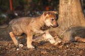 Trevlig tjeckoslovakisk varghund puppy spela — Stockfoto