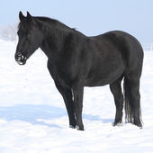 Gorgeous friesian horse standing in shining snow — Stock Photo