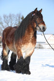 Dutch draught horse with bridle in winter — Foto de Stock