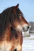 Nederlandse trekpaard hengst in de winter — Stockfoto