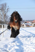Nice dutch draught horse with long mane running in the snow — Stock Photo