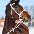 Beautiful brown warmblood with white bridle in winter — Stock Photo #36725697