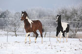 Two paint horses playing in winter — Stock Photo