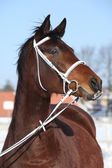 Beautiful brown warmblood with white bridle in winter — Stock Photo
