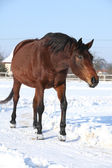 Gorgeous brown horse in winter — Stock Photo