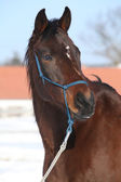 Gorgeous brown horse with blue rope halte in winter — Stock Photo
