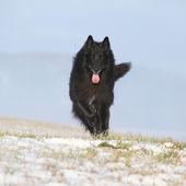 Six years old Groenendael running in winter — Zdjęcie stockowe