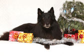 Amazing groenendeal dog with christmas decorations — Stock Photo