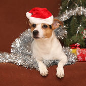 Cute lying Jack russell terrier with Santa hat in a christmas — Stock Photo