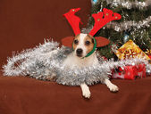 Cute lying Jack russell terrier with reindeer antlers in a chri — Stock Photo