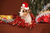 Gorgeous Jack russell terrier with santa hat in a christmas — Stockfoto