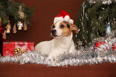 Gorgeous Jack russell terrier with santa hat in a christmas — ストック写真