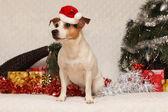 Stupefacente jack russell più terrier con santa cappello in natale — Foto Stock