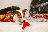 Adorable Jack russell terrier with Santa hat in a christmas — Foto de Stock
