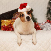Cute lying Jack russell terrier with Santa hat in a christmas — Zdjęcie stockowe