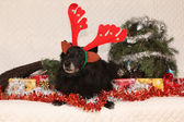 Black Chien de Berger Belge with reindeer antlers in a christmas — Stock Photo