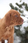 Hungarian Short-haired Pointing Dog in winter — Stock Photo
