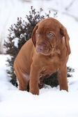 Hungarian Short-haired Pointing Dog in winter — Stockfoto