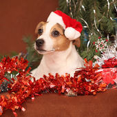 Gorgeous Jack russell terrier with santa hat in a christmas — Stock Photo