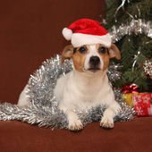 Cute lying Jack russell terrier with Santa hat in a christmas — Stok fotoğraf