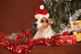 Gorgeous Jack russell terrier with santa hat in a christmas — Foto Stock