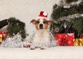 Hübsch liegend jack russell terrier mit nikolausmütze in ein weihnachtsfest — Stok fotoğraf