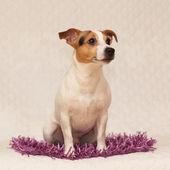 Cute jack russell terrier lying on purple blanket — Stock Photo