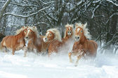 Batch of haflingers together in winter — Foto de Stock