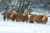 Batch of haflingers together in winter — Stok fotoğraf