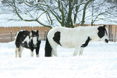 Mare with foal together in winter — Foto de Stock